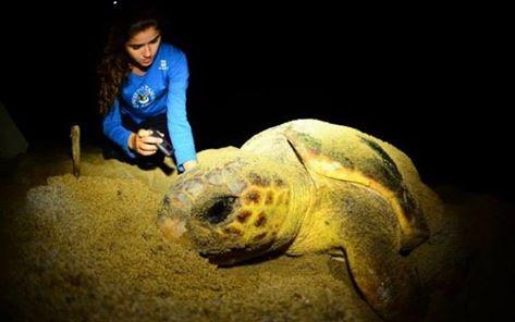 A difícil missão de salvar filhotes de tartaruga de 'mar de lama' no ES.