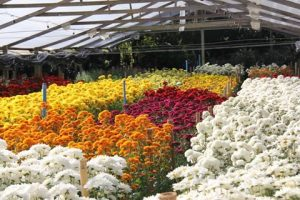 Primavera traz novas cores para atender demanda da floricultura no estado