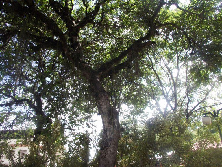 Defesa Civil de Macuco fará corte de árvore na praça
