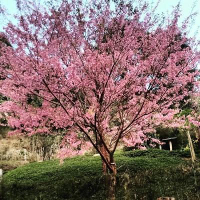 Um espetáculo de rara beleza e muitas tradições, a festa da Cerejeira, acontece no dia 17 de julho