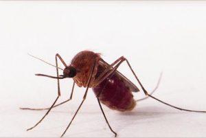 Transmissão de zika por pernilongo pode explicar incidência em algumas regiões