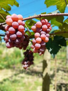 Secretaria de Estado de Agricultura oferece crédito a produtores de uva